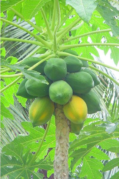 http://www.vanheygen.com/Silhouette/images/papaya.jpg